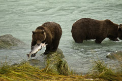 Ursos de Brown do Alasca que travam salmões no rio de Chilkoot fotos de stock royalty free