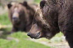 Ursos de Brown litorais Fotos de Stock Royalty Free