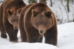 Ursos de Brown na neve Fotografia de Stock