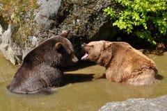 Ursos de Brown no lugar molhando no duelo fotografia de stock