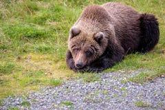 Ursos de Brown no selvagem imagens de stock