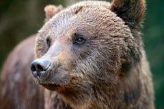 Ursos de Brown nos Carpathians. Imagem de Stock