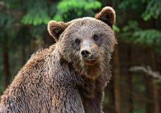 Ursos de Brown nos Carpathians. Fotografia de Stock
