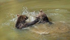 Ursos de Brown que jogam na água fotos de stock royalty free
