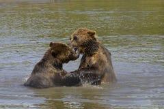 Ursos de Brown que jogam na água imagens de stock