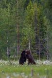 Ursos de Brown que lutam no campo finlandês com flores Foto de Stock