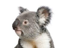 Ursos de Koala na frente de um fundo branco Foto de Stock Royalty Free