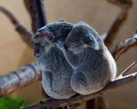Ursos de Koala que afagam em uma filial fotografia de stock royalty free