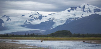 Ursos e geleiras de Brown Foto de Stock