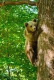 Ursos em uma floresta da reserva natural de Zarnesti, perto de Brasov, a Transilvânia, Romênia Imagens de Stock Royalty Free