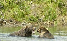 Ursos marrons gigantes irritados em Katmai foto de stock royalty free