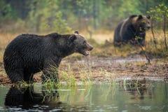 Ursos marrons no pântano Ursos de Brown grandes selvagens adultos Nome científico: Arctos do Ursus Habitat natural Estação do out imagens de stock