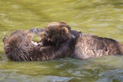 Ursos na água Fotos de Stock Royalty Free