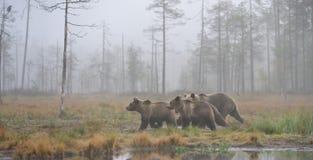 Ursos na névoa do outono Imagens de Stock