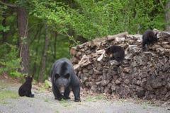 Ursos na pilha de madeira Imagens de Stock Royalty Free
