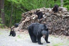 Ursos na pilha de madeira Fotos de Stock