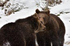 Ursos novos Imagens de Stock