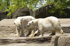 Ursos polares foto de stock royalty free
