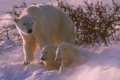 Ursos polares imagens de stock
