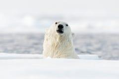 Ursos polares nadadores, superfície à superfície da àgua principal Urso polar com gelo de tração com neve Animal perigoso de Sval imagens de stock