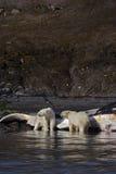 Ursos polares no lavados acima da baleia de esperma Foto de Stock Royalty Free