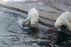 Ursos polares no lavados acima da baleia de esperma Imagens de Stock