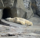 Ursos polares no lavados acima da baleia de esperma imagem de stock royalty free