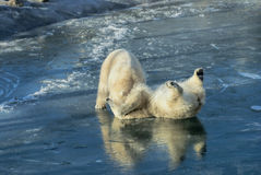 Ursos polares no lavados acima da baleia de esperma Fotografia de Stock