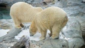 Ursos polares no lavados acima da baleia de esperma Fotografia de Stock Royalty Free