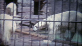 1973: Ursos polares que lutam na pena pequena do jardim zoológico Washington DC vídeos de arquivo