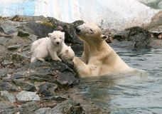 Ursos polares recém-nascidos Fotos de Stock Royalty Free
