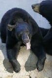 Ursos pretos foto de stock