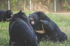 Ursos pretos Fotografia de Stock