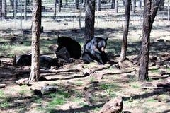 Ursos pretos Fotos de Stock