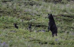 Ursos pretos no alerta Fotografia de Stock Royalty Free