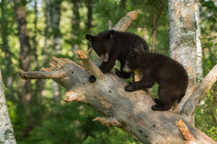 Ursos pretos novos (Ursus americano) na árvore Foto de Stock Royalty Free