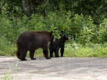 Ursos que dirigem em casa Foto de Stock Royalty Free