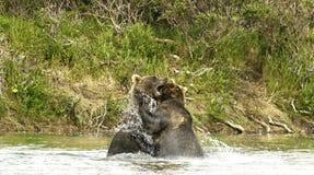 Ursos que lutam em Katmai foto de stock