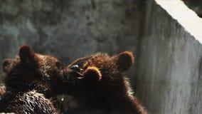 Ursos que lutam em uma gaiola filme