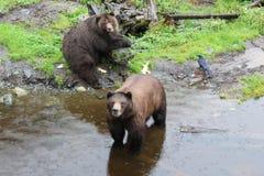 Ursos que procuram o alimento em Alaska fotos de stock royalty free