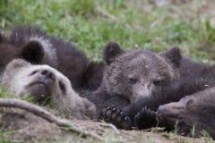 Ursos sonolentos junto na terra imagens de stock royalty free