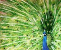Ursprüngliche Malerei eines Pfaus, der seine Flügel auflockert Stockfotografie