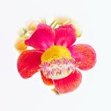 Ursprüngliche realistische rote Blume des Malereiillustrations-Aquarells der Salzblume stockfoto