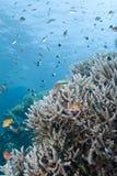 Ursprüngliche Staghorn Korallenanordnung mit Fischen. Stockfoto