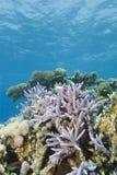 Ursprüngliche tropische Staghorn Korallenanordnung. Stockbild