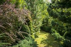 Ursprünglicher grüner Hintergrund einer natürlichen Mischbeschaffenheit von Evergreens: Pinus nigra, purpurrotes Berberitzenbeere stockfotos