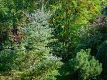 Ursprünglicher grüner Hintergrund einer natürlichen Mischbeschaffenheit von Evergreens: Tanne Abies koreana Silberlocke, Pinus mu stockfoto