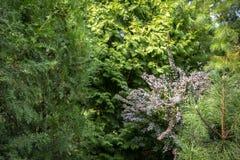 Ursprünglicher grüner Hintergrund einer natürlichen Mischbeschaffenheit von Evergreens: Thuja occidentalis Columna, Aurea, purpur lizenzfreies stockbild