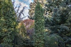 Ursprünglicher Mehrfarbenhintergrund von Evergreens: Thuja occidentalis Columna, Juniperus communis Horstmann, Buchsbaum Buxus se lizenzfreie stockbilder