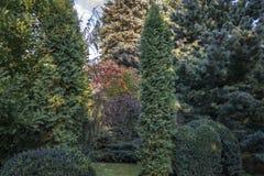 Ursprünglicher Mehrfarbenhintergrund von Evergreens: Thuja occidentalis Columna, Juniperus communis Horstmann, Buchsbaum Buxus se stockbilder